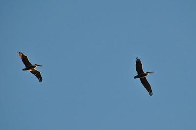 Pelicans flying overhead.