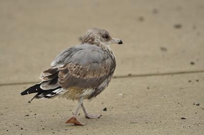 Scruffy seagull.
