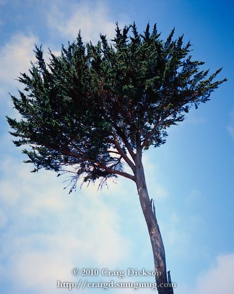 Tree, Land's End, San Francisco