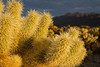 Stopped at the Cholla Cactus Garden on the way out.