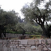 Olive grove at Church of the Nations