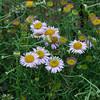 2011-08-24 Spooner's Cove Blochman's leafy daisy