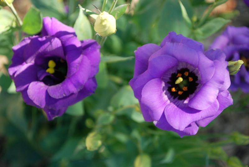 2011-08-19 Tulare CA purple flowers