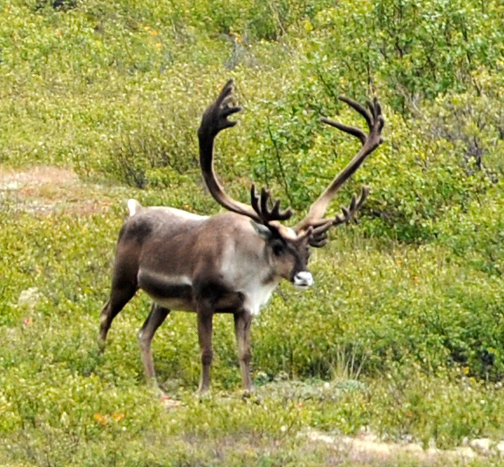 WILDLIFE: Caribou in Denali National Park.