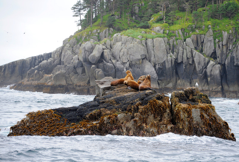 WATERVIEWS: Seals in the Bay of Alaska.