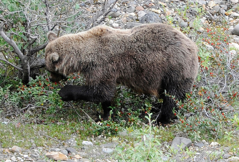 WILDLIFE: Grizzly bear eating berries in Dinali National Park.