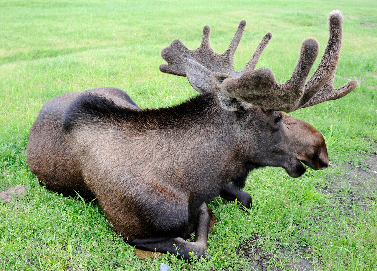 WILDLIFE: Moose in an Alaskan Conservation Center.