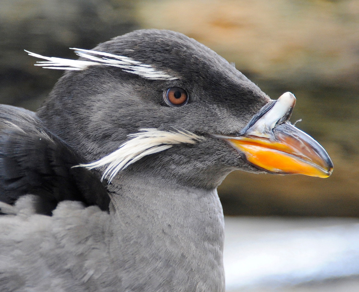 WILDLIFE: Whiskered Auklet at the Sea Life Center in Seward.