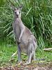 Grey Kangaroo at Greenfields Beach.