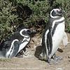 11 Magellan Penguins_01