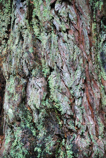Bark on a redwood tree.