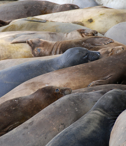 A gathering of seals at the Elephant Seal rookery near San Simeon.