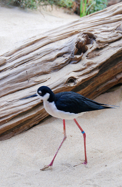 Black-necked Stilt at the Monterey Bay Aquarium.