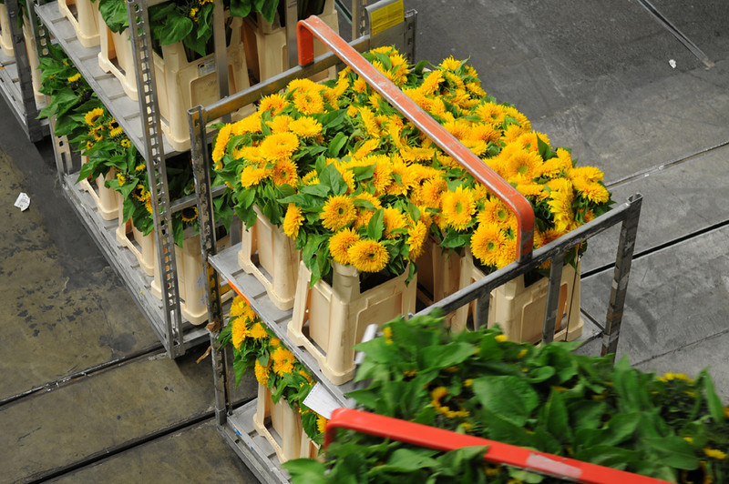 Once the flowers have gone through the auction room they are automatically moved back out onto the main warehouse floor.