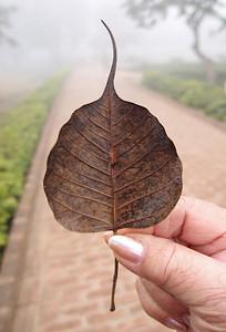 Leaf of Bodhi tree