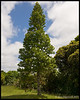"This Kauri tree is about 30 years old.  It has branches almost to the ground which is characteristic of the young Kauri trees or ""rickers"".  As the trees mature all of the branches except the topmost drop off.<br /> <br /> Waipuoa Forest<br /> Near Hokianga, NZ<br /> November 20, 2011<br /> 087"
