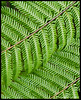 Ferns at the Waitangi Treaty Grounds.  I love ferns and New Zealand had lots of them.  While beautiful, it is difficult to take an interesting photo of ferns.  I tried several times with limited success.<br /> <br /> November 16, 2011