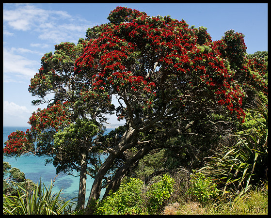 """Pōhutukawa tree on Tiritiri Matangi.  This tree is called the """"New Zealand Christmas tree"""" because it blooms in December. Maori use the blooming of this tree as an indication of when to fish for shell fish. On Tiritiri Matangi we saw a Pōhutukawa that was estimated to be 1000 years old.<br /> <br /> We took a day trip to Tiritiri Matangi which is an island about 30 km north east of Auckland.  After 1994, this island was established as a wildlife sanctuary when it was reforested by volunteers and the ongoing process of eliminating mammalian predators was begun.  <br /> <br /> The island includes a small population of Takahe which was thought to be extinct until found in Fiordlands NP in 1948.<br /> <br /> Tiritiri Matangi<br /> December 3, 2011<br /> 373"""