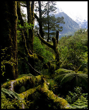 The Chasm<br /> <br /> We took a short hike at The Chasm which was just a short distance from Milford Sound before taking our cruise there.  The forests in Fiordlands are incredibly pristine.  With 7.5 m of rainfall per year, the growth of trees, ferns, mosses, etc. is very lush.  It is difficult to capture in a photo the sense of abundant plant life that one experiences walking through these forests. <br /> <br /> Fiordlands NP<br /> South Island, NZ<br /> November 24, 2011<br /> 139