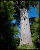 Tane Mahuta, Lord of the Forest<br /> <br /> This Kauri is the largest existing Kauri.  One five times as large (measured by volume, I think) was killed by a lightning strke several years ago.  Tane Mahuta has a trunk that is 17.7 m high, a total height of 51.5 m, trunk girth of 13.8 m and a volume of 244 cubic meters.  It is so big that taking a good photo of it is very difficult, as I have demonstrated here.<br /> <br /> Waipoua Forest<br /> Hokianga, NZ<br /> November 20, 2011<br /> 100