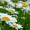 Magic House daisies