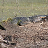 Now this is my best all time gator shot.  I arrived a few minutes late but I did get the gator with the caught nutria being prepared for lunch.  A bit close up next shot.