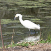 Snowy Egret doing the lunch time dance