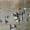 American Coot Conclave