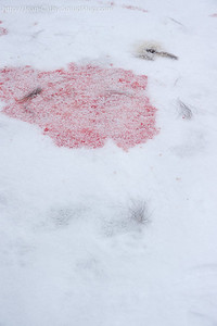 Algonquin Wolves ate last night. this is what's left about 18 hours after a Deer kill.