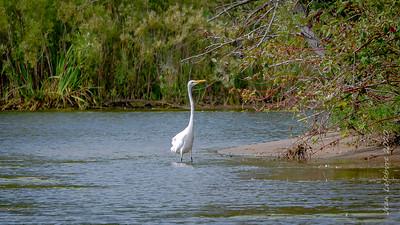 Toronto Island Egret
