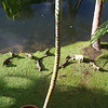 My pet iguanas that I feed Cheerios to