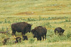 Buffalo in Custer State Park (2)