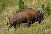 Buffalo in Custer State Park (3)