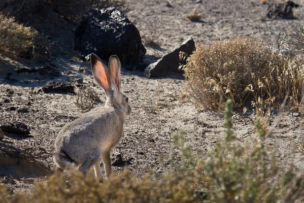 Jackrabbit in the Nevada Desert