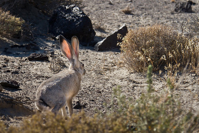 Jackrabbit in the Nevada Desert