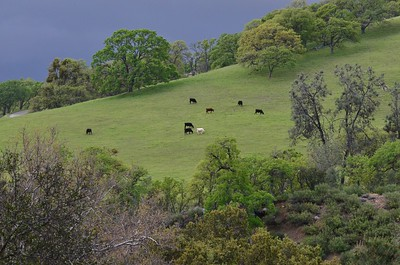 California Cattle Ranch