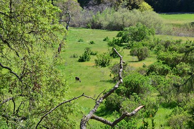Deer in the Valley at the Del Valle Regional Park.