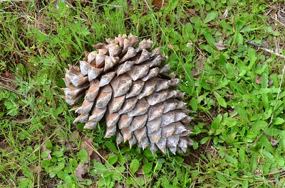 There were lots of pine cones laying around.
