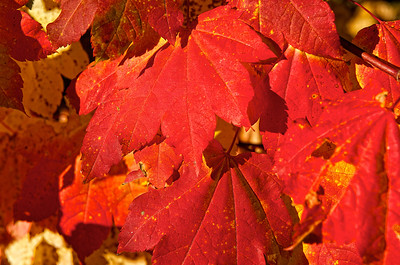 Vine Maple turned red for fall.