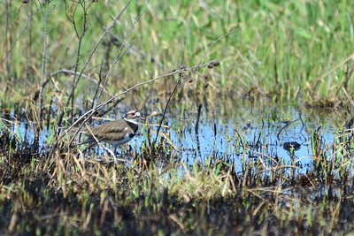 Killdeer - in the NWR near Toppenish, WA
