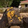 A rock Huia