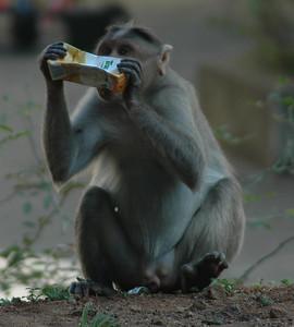 Monkey steals juice box