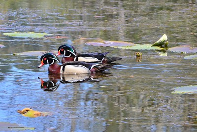 Two male Wood Ducks.