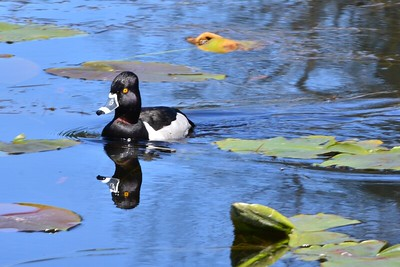 Ring Necked Duck - Male