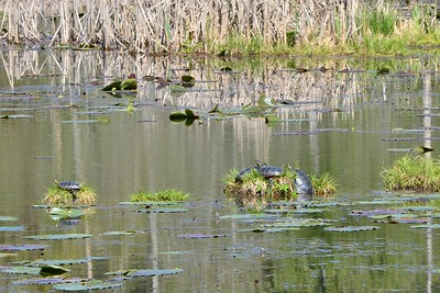 Turtles sunning themselves at McLean Nature Trail.