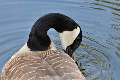 Canada Goose grooming himself.