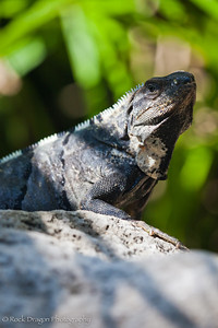 An Iguana near Playa del Carmen in Mexico.