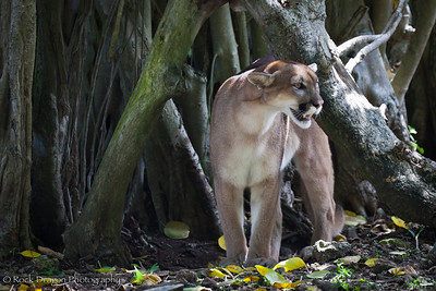 A Cougar at Xcaret Eco-Park in Mecixo.