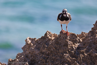 A Sand Piper looking for food on the Caribbean coast.