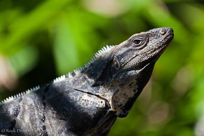 An Iguana near Playa del Carmen in Mexico.